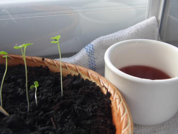 Der salat in seiner dritten woche frag hasi for Fruchtfliegen blumenerde