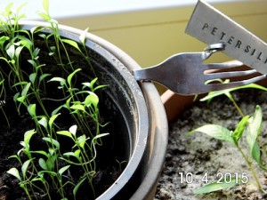 Petersilie wächst auch, leider schief und krumm, musst das so?
