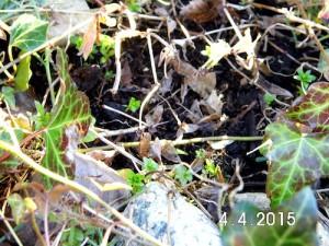 Waldmeister, im letzten Jahr gepflanzt. Er kommt doch wieder!
