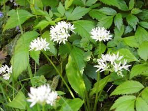 Bärlauch und Waldmeister blühen weiterhin schön weiß im Garten