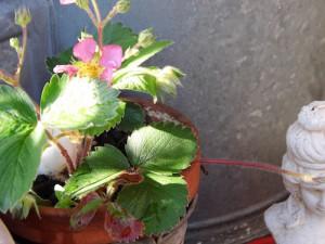 auch als Deko schön- Erdbeere