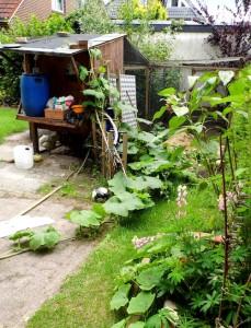 die große Kürbispflanze am Hühnerstall. eigentlich war sie über...