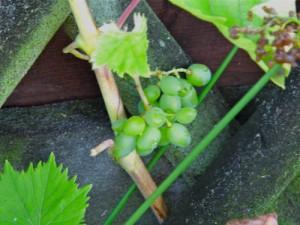 Erste Erfolge beim Wein- nächstes Jahr Sekt keltern?
