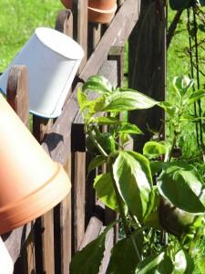 Paprika schön grün, leider ohne Ertrag!
