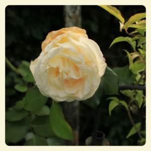 Rose II_Fotor