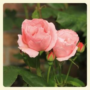 Rose I_Fotor