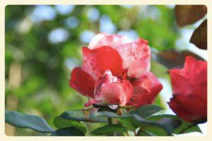 Rose noch mal großartig am Blühen