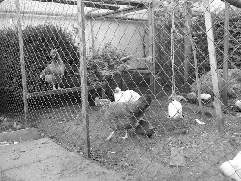Ich vermisse unsere Hühner
